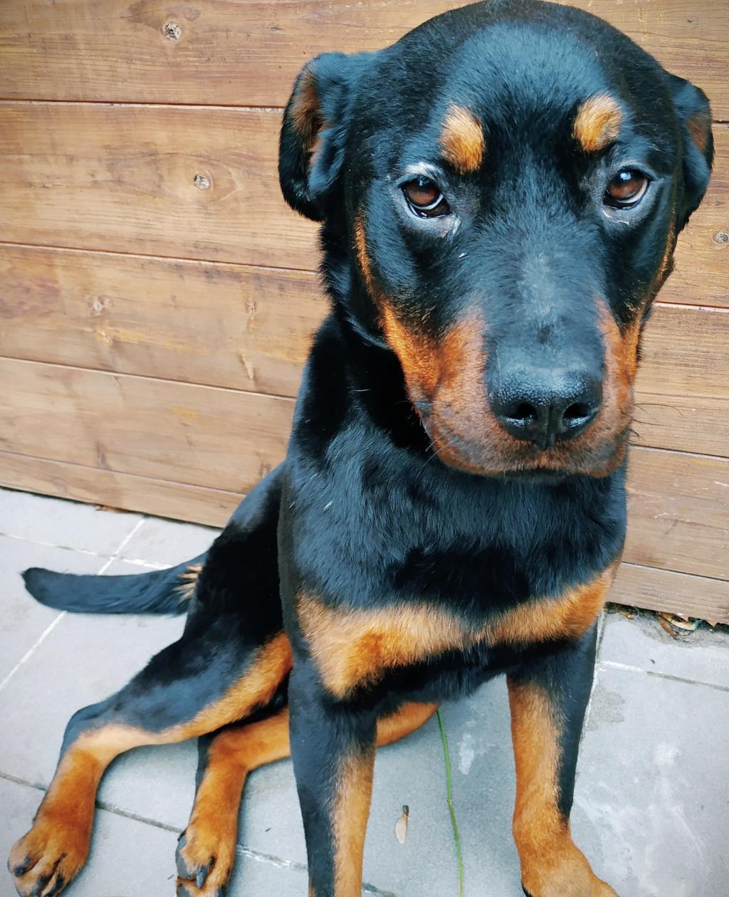 RIHANNA - femelle Rottweiler de taille moyenne, née environ en  2015 (PASCANI) - adoptée par Jessica (Belgique) - Page 2 Img_2040