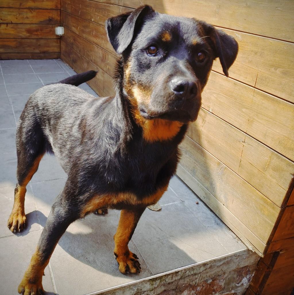 RIHANNA - femelle Rottweiler de taille moyenne, née environ en  2015 (PASCANI) - adoptée par Jessica (Belgique) - Page 2 Img_2044
