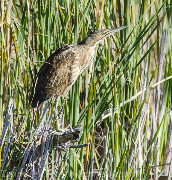 un butor dans les marais de l'ile Bizard 104_3812