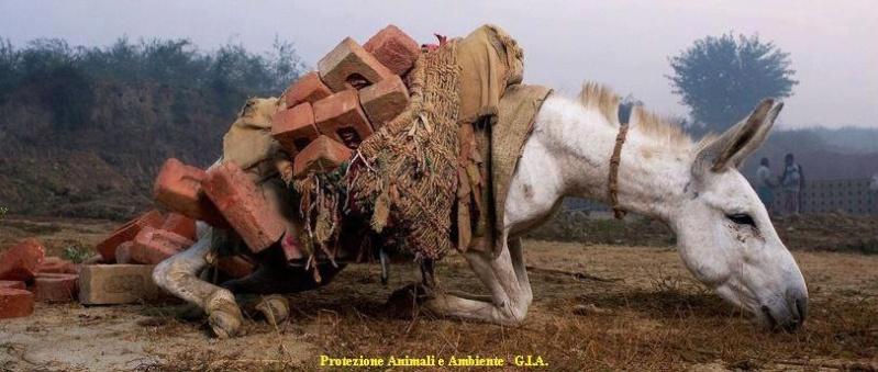 Lastentiere in den Steinbrüchen Nepals Esel_i10