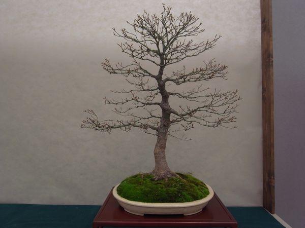 Mondo Bonsai- Gonzaga 2_13