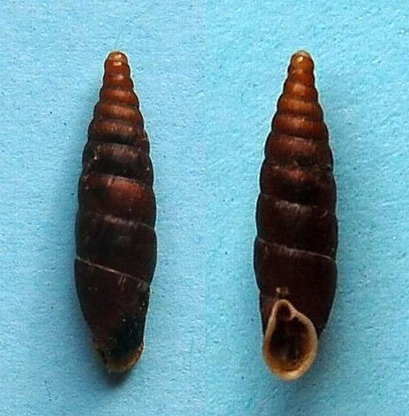 Clausilia rugosa parvula (Férussac, 1807) 13092810
