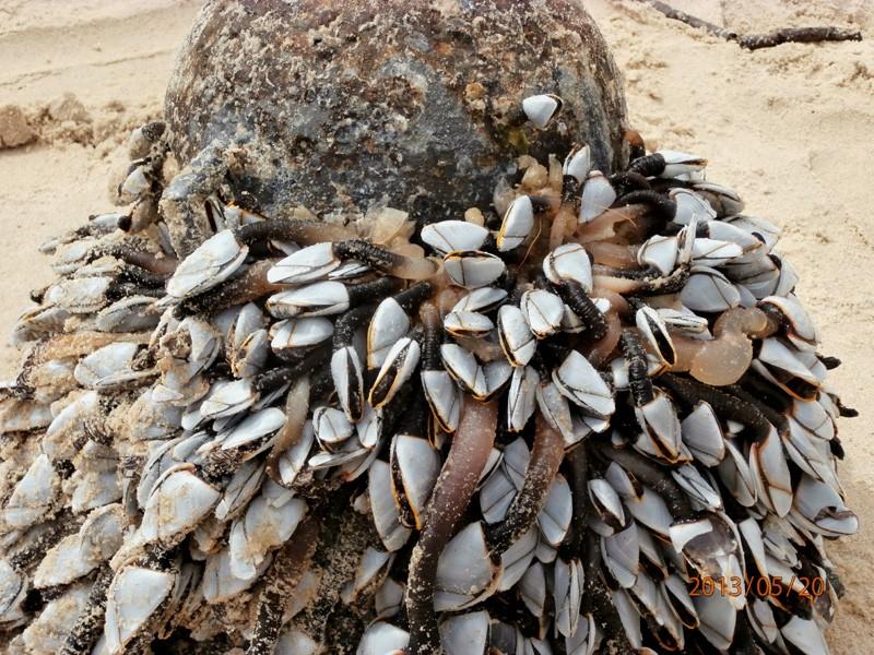 Coquillage Cap Breton - (Pollicipes pollicipes) Cap_br10