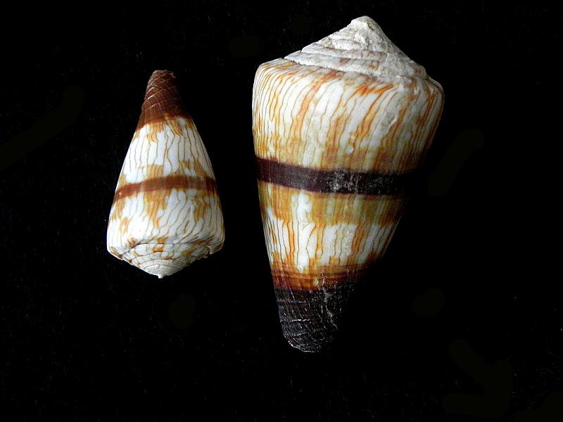Conus miles et conus malacanus Conus_13