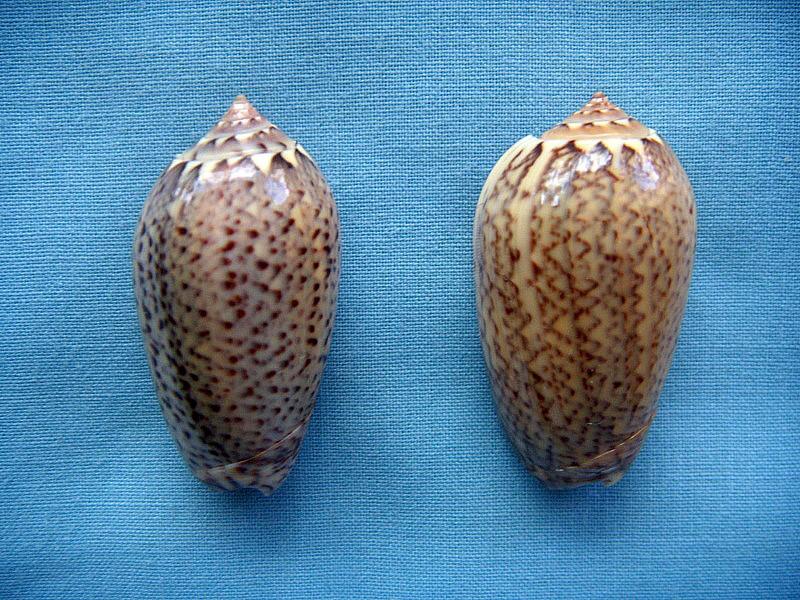 Americoliva polpasta (Duclos, 1833) Dscn1010