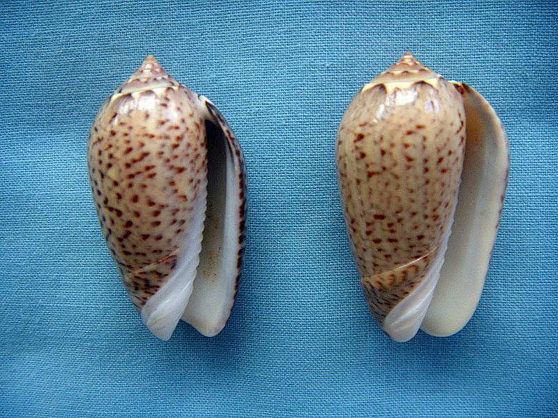Americoliva polpasta (Duclos, 1833) Dscn1011