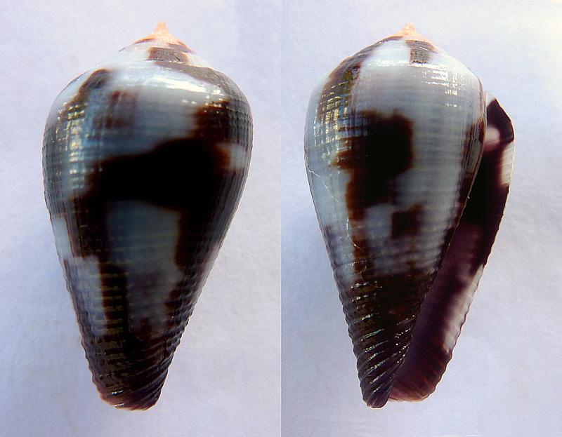 Conus (Leporiconus) coffeae  Gmelin, 1791 P1070310