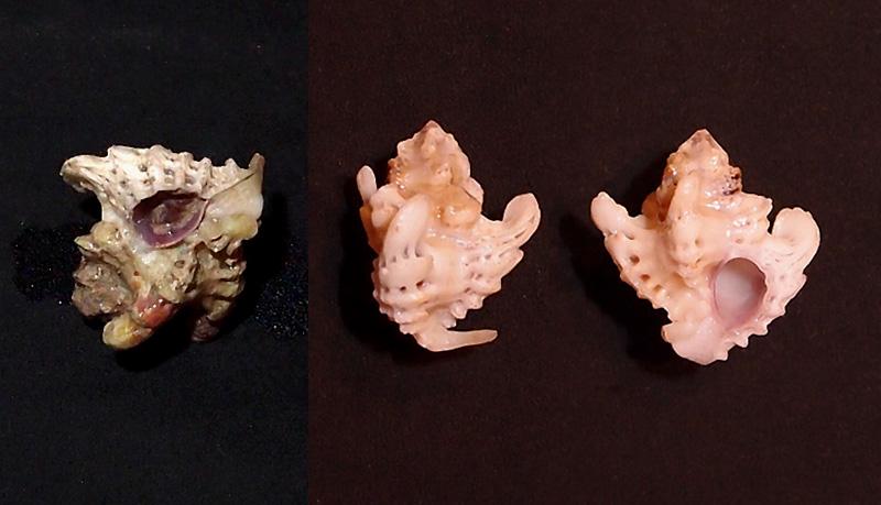 Favartia brevicula - (G. B. Sowerby II, 1834) P8014110