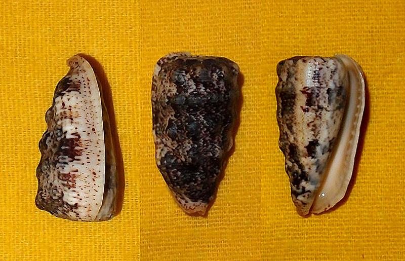 Morum tuberculosum - (Reeve, 1842) P9134810