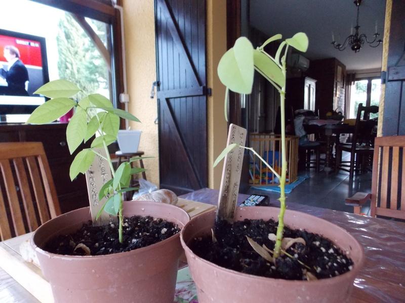 Très jolie plante que je ne connais pas : Erythrina crista-galli Dscn1215