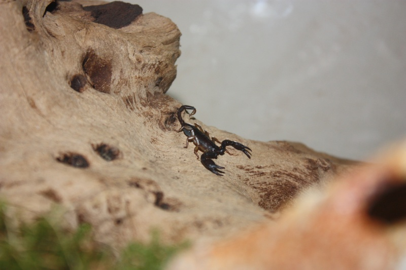Mes Euscorpius. Img_2311