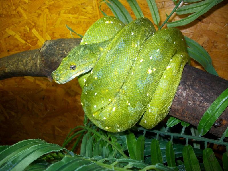 [Fiche] Morelia viridis Biak_s10