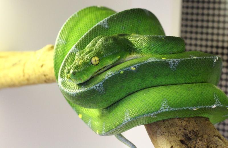 [Fiche] Morelia viridis Bokond10