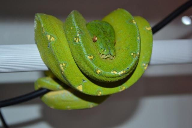 [Fiche] Morelia viridis Cyclop10