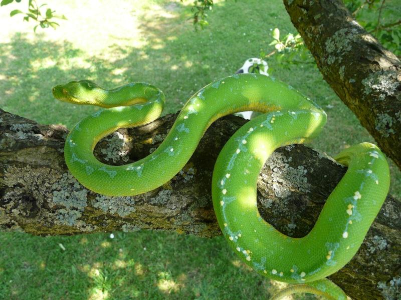 [Fiche] Morelia viridis Kofiau10
