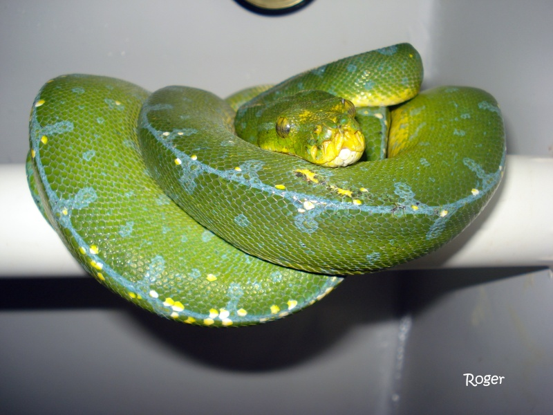 [Fiche] Morelia viridis Manokw10
