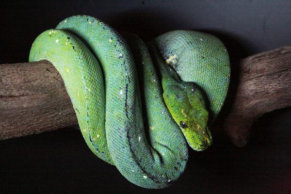 [Fiche] Morelia viridis Numfor10