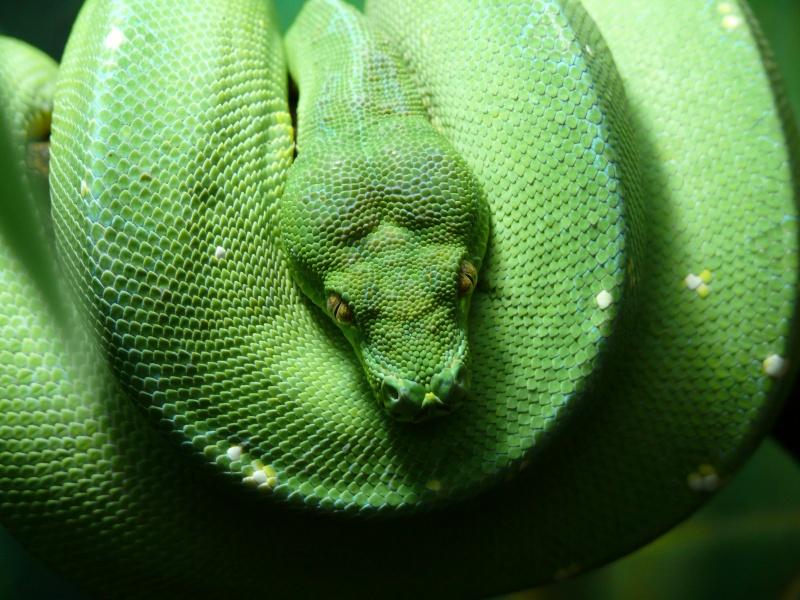 [Fiche] Morelia viridis P1050810