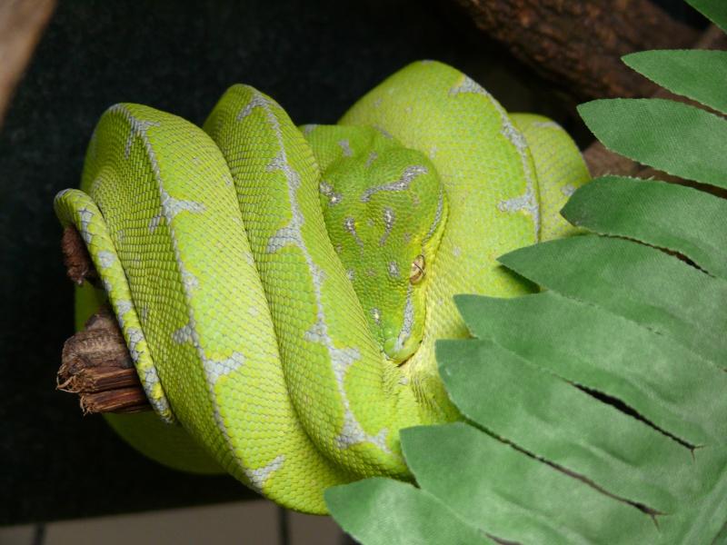 [Fiche] Morelia viridis P1060610