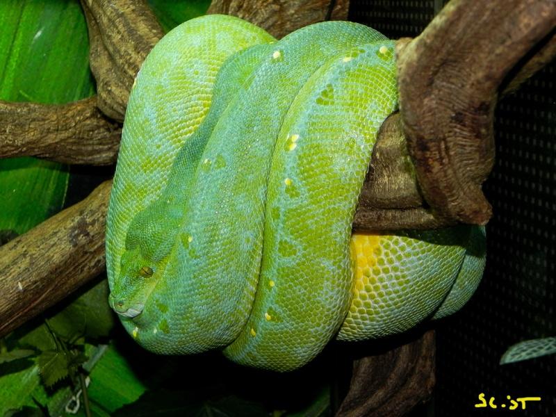 [Fiche] Morelia viridis Sorong10