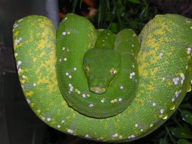 [Fiche] Morelia viridis Yapen_10