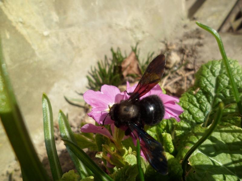 L'abeille charpentière, Xylocopa violacea Sam_3910