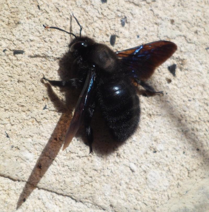 L'abeille charpentière, Xylocopa violacea Sam_3911