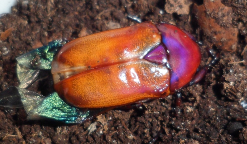 Elevage de Chlorocala africana Sam_4216