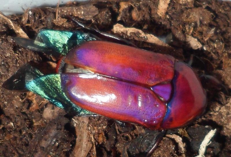 Elevage de Chlorocala africana Sam_4217
