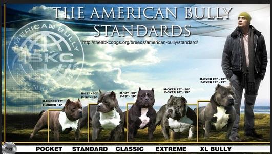 Hiena Listrada VS American Bully Americ10