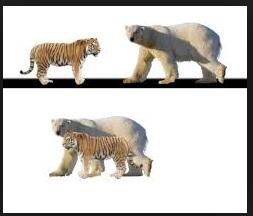 Urso Polar VS Tigre Siberiano Compar10