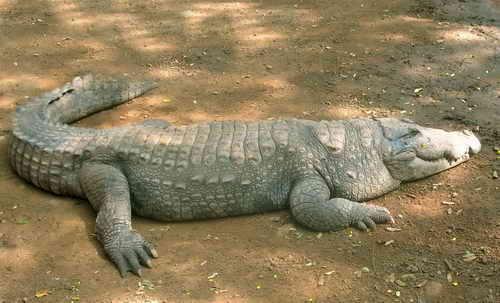 Gorila silverback VS Crocodilo Mugger Crocod10