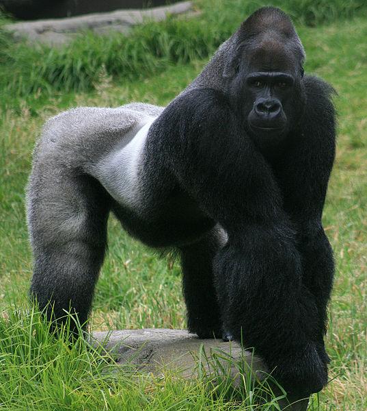 Gorila silverback VS Crocodilo Mugger Gorila10