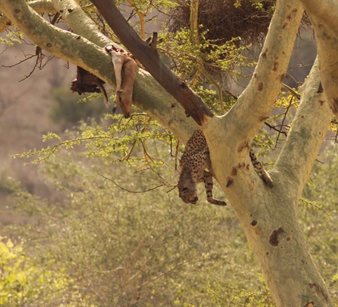 Chita VS Leopardo Das Neves  Img_1210