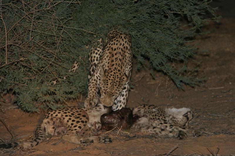 Chita VS Leopardo Das Neves  Leopar10