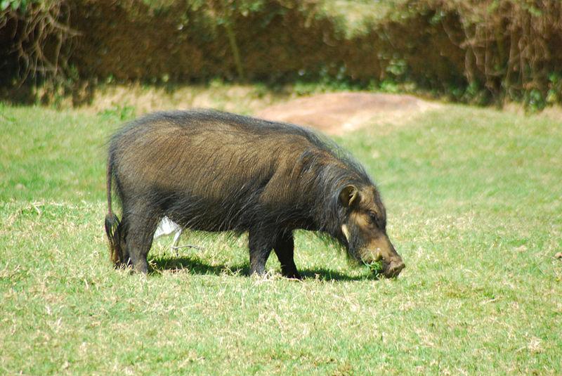Porco Gigante da Floresta VS Hipopótamo Anão Porcpo10