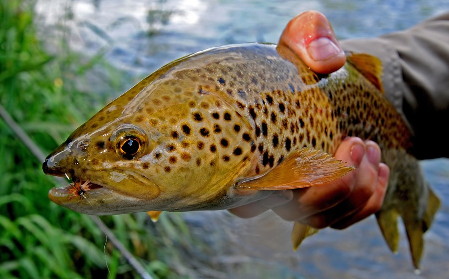 Fly fishing in province Leon, Spain Caddis14