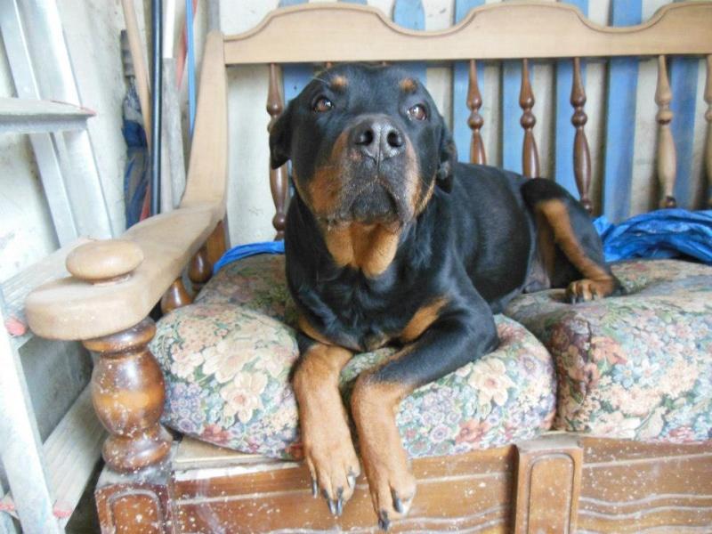 Thila et Benji (adopté) rottweiler sur le 47 sous l'asso ARPA 54411410