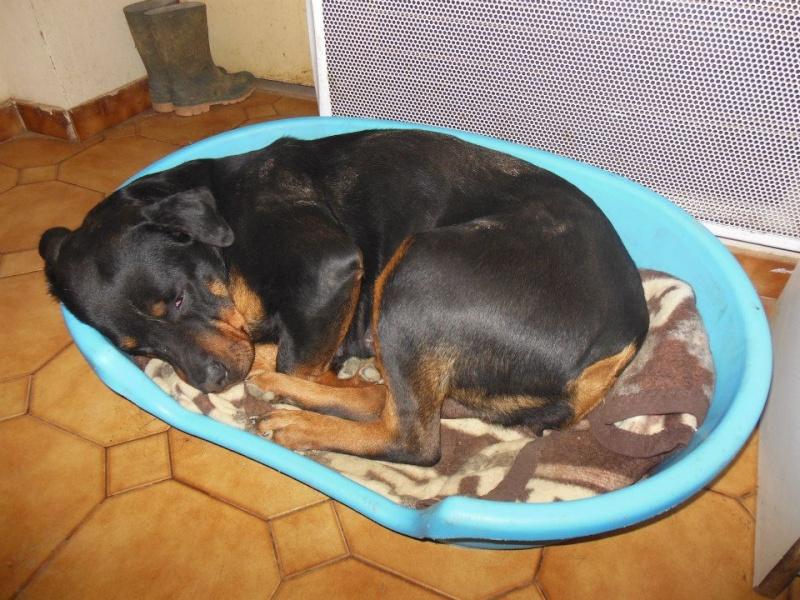 Thila et Benji (adopté) rottweiler sur le 47 sous l'asso ARPA 6751_110