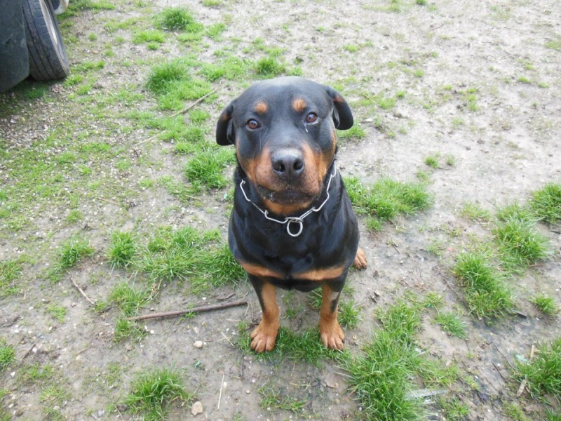 Thila et Benji (adopté) rottweiler sur le 47 sous l'asso ARPA Ben10