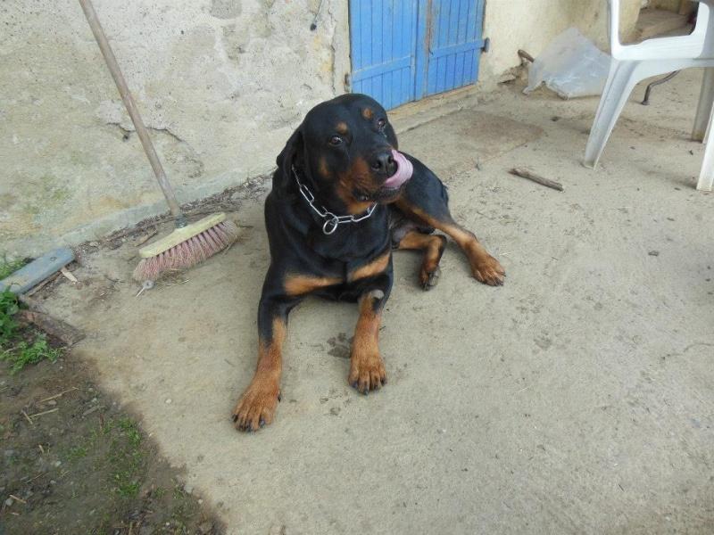 Thila et Benji (adopté) rottweiler sur le 47 sous l'asso ARPA Benn10