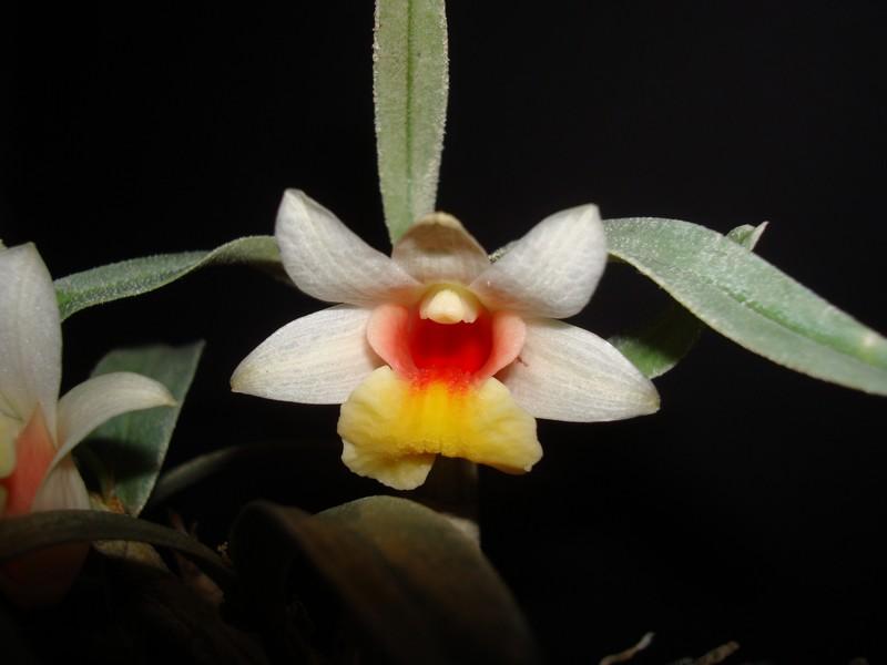 Dendrobium bellatulum. D_bell10