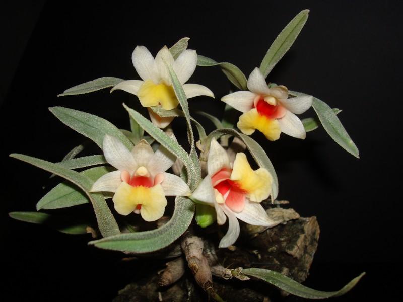 Dendrobium bellatulum. D_bell11