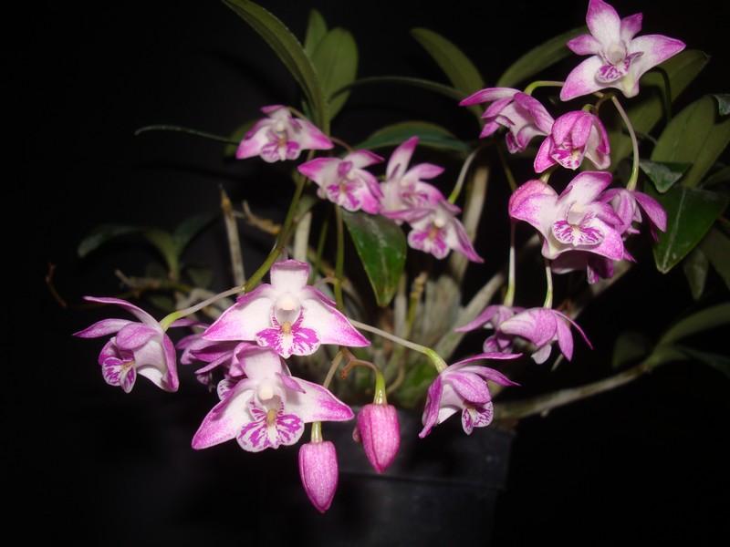 Dendrobium kingianum. D_king10