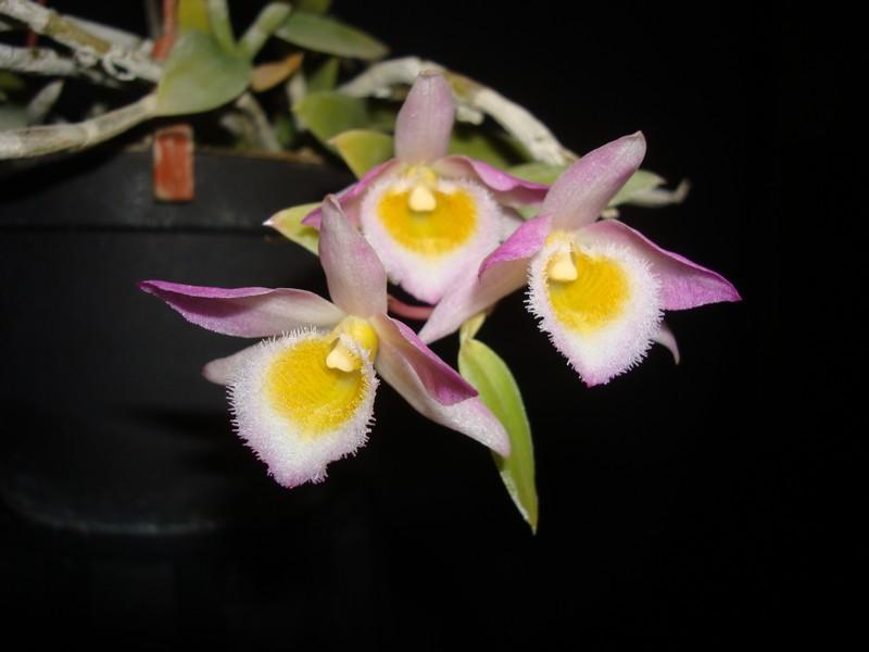 Dendrobium loddigesii. Dendro10