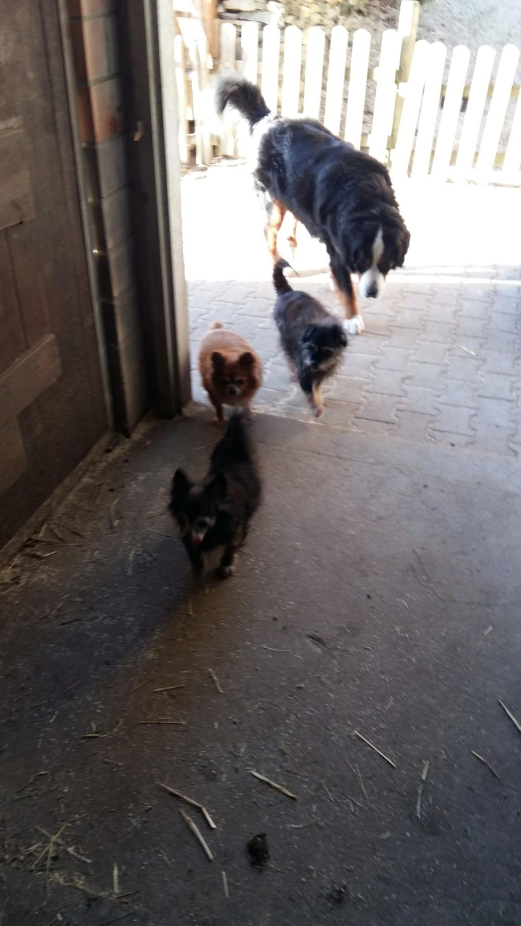 ELLIOT et CARAMEL - x chihuahua/papillon 9 et 11 ans - Asso Animale Attitude 63 - adoptés par Françoise, filleuls de frimousse Photo_10
