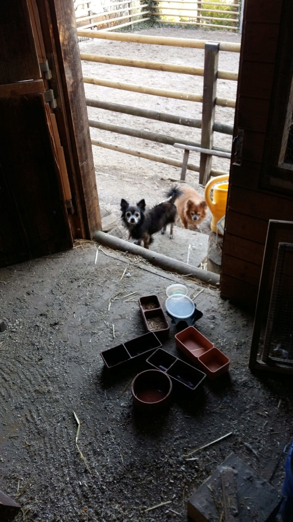 ELLIOT et CARAMEL - x chihuahua/papillon 9 et 11 ans - Asso Animale Attitude 63 - adoptés par Françoise, filleuls de frimousse Photo_13