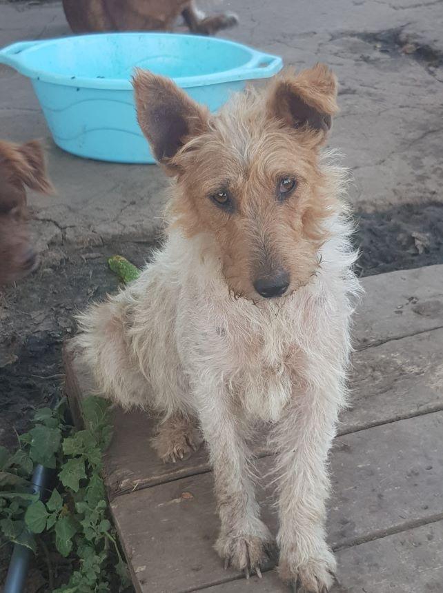 sos - STANA - fox terrier 5 ans - Asso Terriers sans Frontières - Roumanie maintenant en France  Stanar10