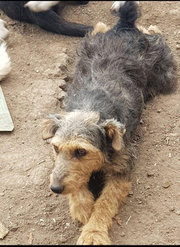ThEA  -- fox terrier 6 ans - Asso Terriers sans Frontières  Terrar10
