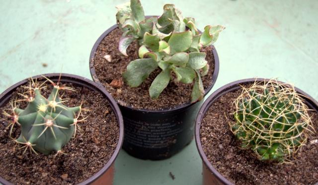 Ferocatus emoryi ou hystrix ? - Cotyledon orbicularis ou Crassula arborescens ssp undulatifolia ? - Mammillaria camptotricha 'Marnier-Lapostolle' (= Dolichothele) Dsc_0012